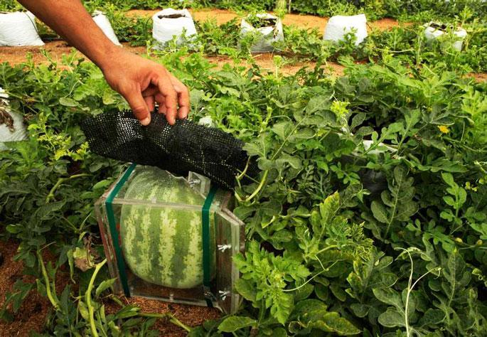 выращивание арбуза