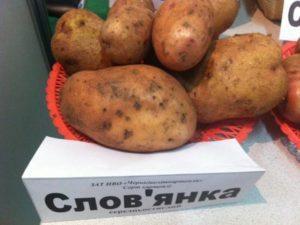 Описание сорта картофеля славянка, технология посадки и уход
