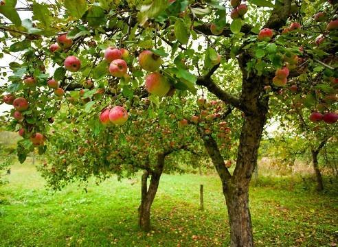 сад яблони мантет