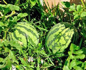 Правила выращивания арбузов в открытом грунте, как формировать и ухаживать