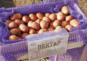 Описание и характеристика сорта картофеля Вектор, правила посадки и ухода