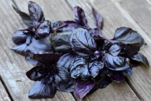 Описание и применение сортов базилика фиолетового, чем полезен