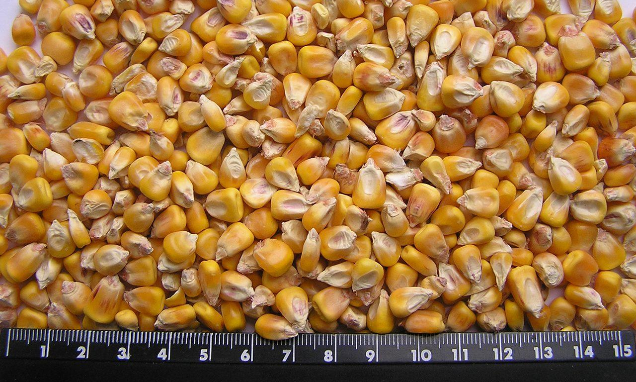 фуражная кукуруза