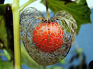 Посадка и уход за физалисом в открытом грунте, выращивание и как собирать