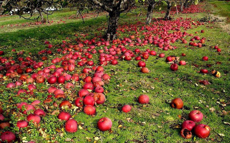 опадает яблоня