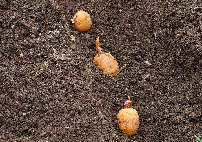 посадка картофеля джувел