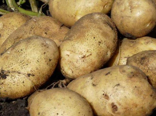 картошка лорх