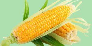 Как отличить фуражную и пищевую кукурузу, лучшие сорта и применение