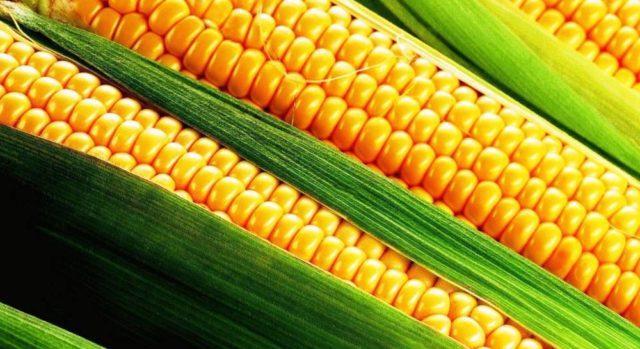 сорт кукурузы Лопай-лопай