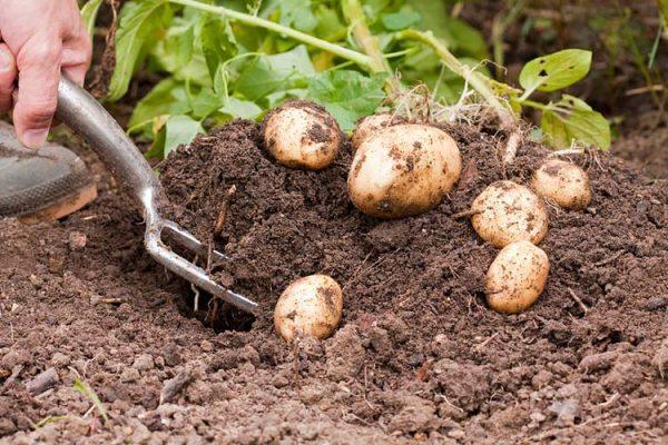 уборка картофеля сорокодневка