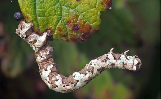 гусеница вредитель