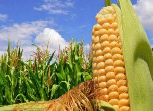 Как вырастить кукурузу на даче, тонкости посадки и ухода