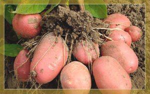 Описание и характеристика картофеля сорта Ароза, посадка и уход