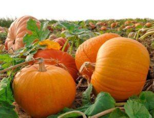 Описание 20 лучших сортов крупноплодной тыквы, правила выращивания и ухода