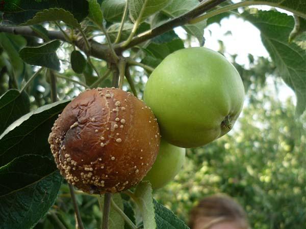гниют яблоки на дереве