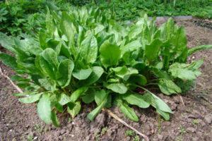 Посадка и уход за щавелем в открытом грунте, чем подкормить и когда сеять