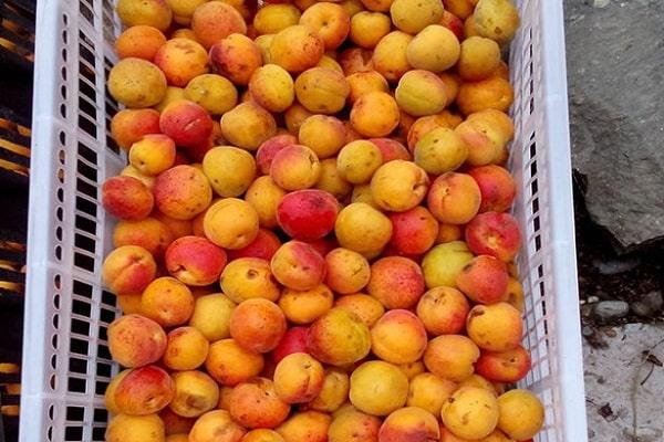 отбор абрикос