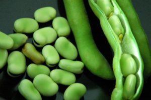 Выращивание и уход за бобами в открытом грунте, правила посадки и сорта