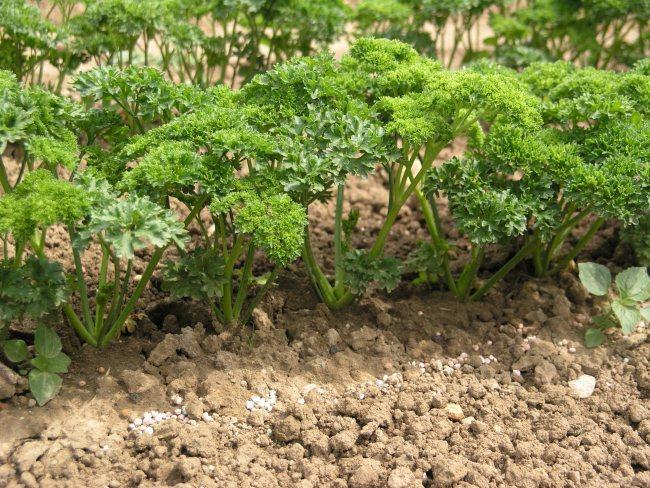петрушка в огороде