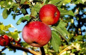 Описание и характеристики яблок сорта Апорт, технология посадки и уход