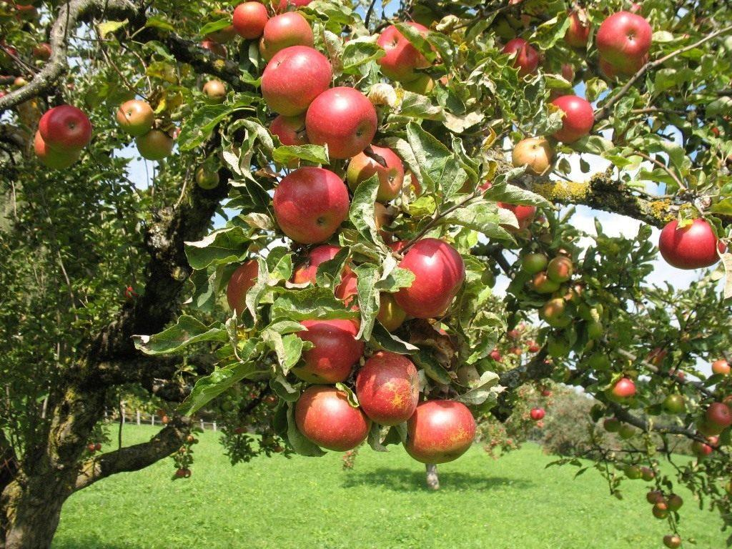 сорт яблони