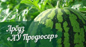 Описание и характеристики арбуза сорта Продюсер, особенности выращивания