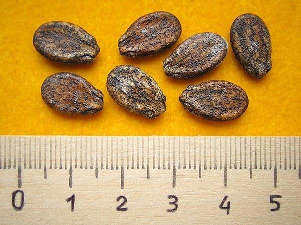 семена арбузов