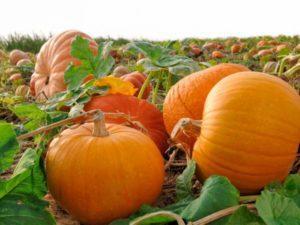Выращивание и уход за тыквой в открытом грунте, правила посадки для хорошего урожая