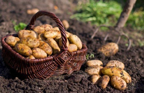збор урожая