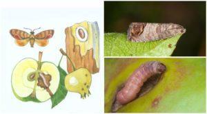 Методы борьбы с плодожоркой на яблоне химическими и народными средствами