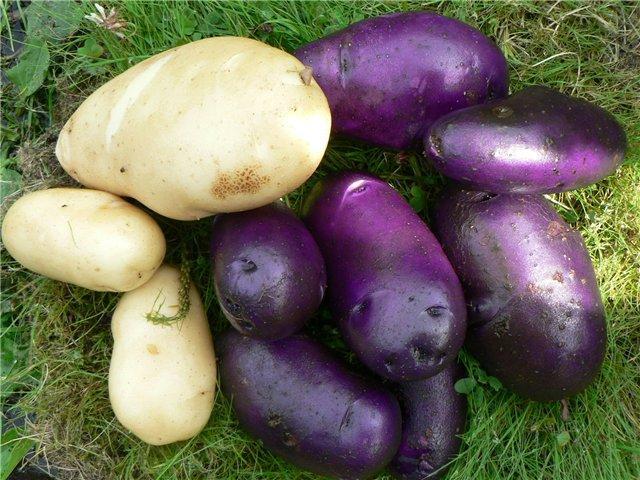 картофель на огородах