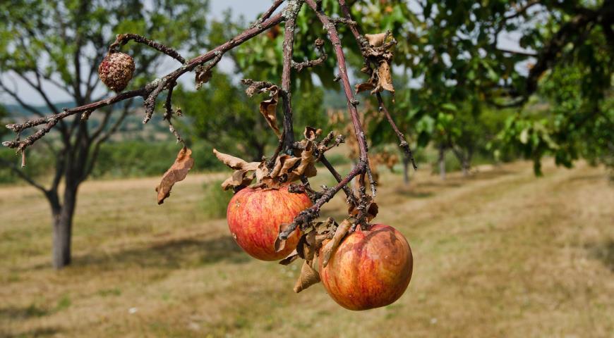 проадает яблоня