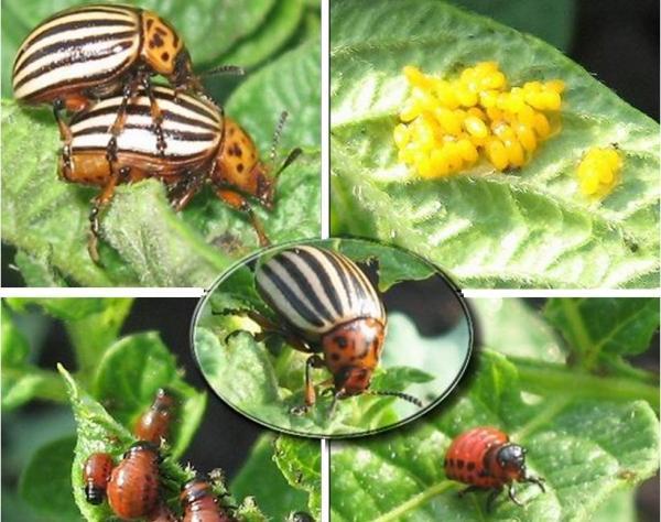 жуки на кар тофеле