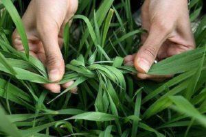 Чеснок, когда и как завязывать листья, нужно ли это делать после обрыва стрелок