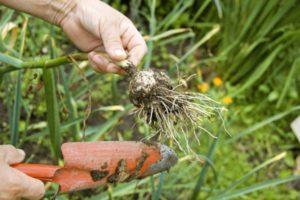 Когда лучше убирать чеснок в дождливое лето, можно ли выкапывать и как спасти