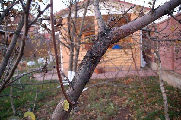 рак яблони