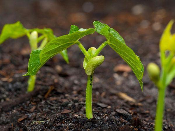 ростки фасоли