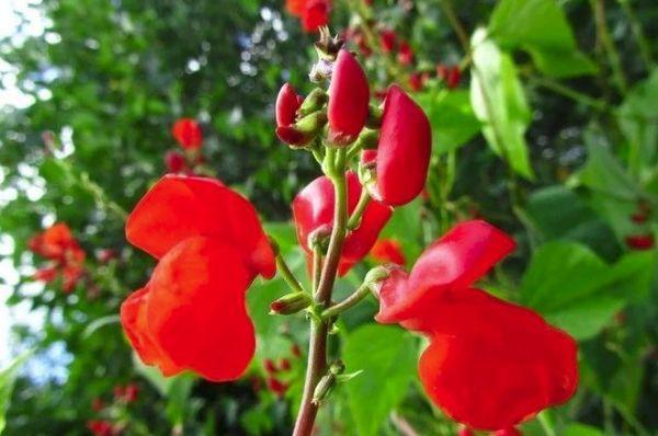 цветки фасоли