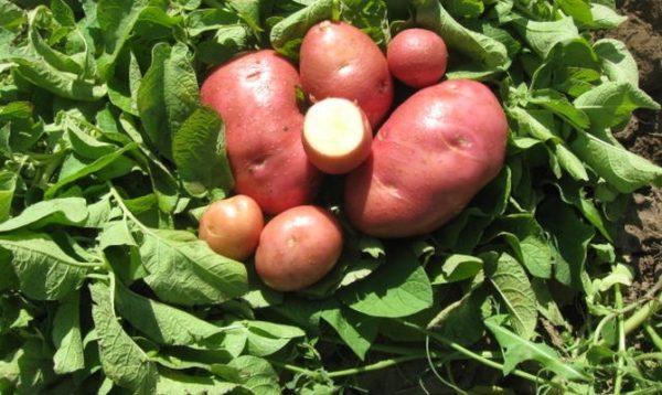 лаура картофель