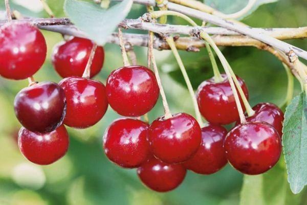 сорт рубиновая