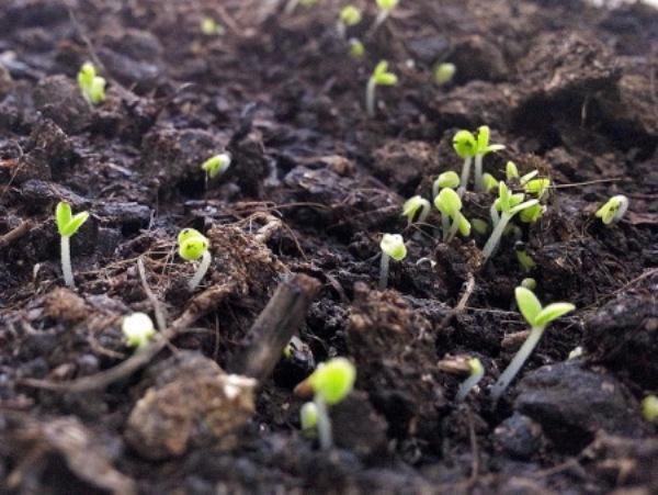 выращивание мяты из семян