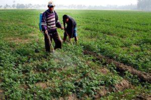 Как бороться с фитофторой на картофеле, описание и методы лечения