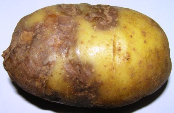 недуга на картошке