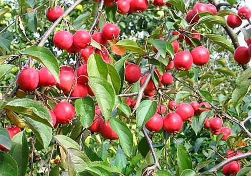 яблоня недзвецкого