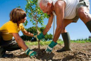 Как можно пересадить на новое место взрослую яблоню, когда лучше это делать