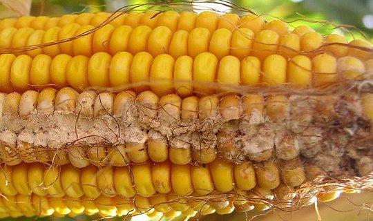 болезни кукурузы