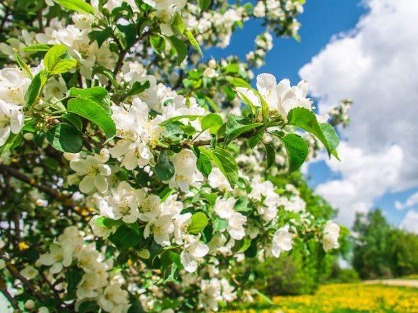 цветение в саду