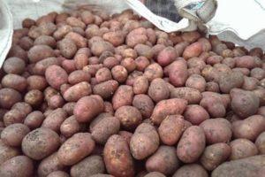 Описание и характеристика сорта картофеля Пикассо, правила посадки и уход