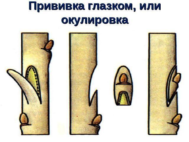 размножение барбариса