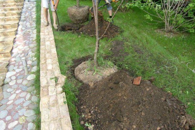 пересадка дерева